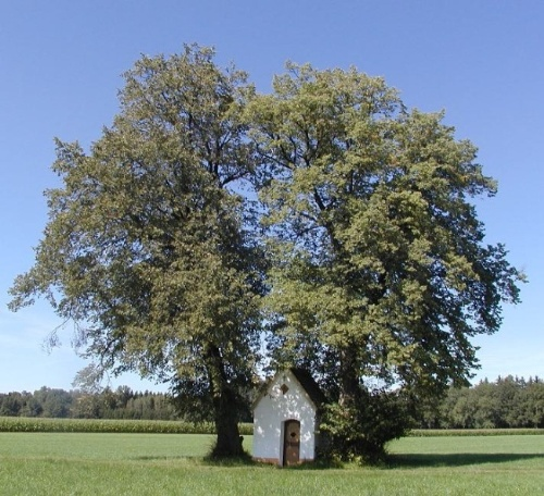 Kapelle Aich mit Bäumen