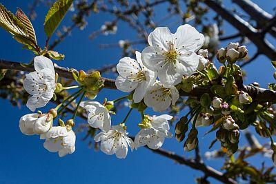 Kirschblütenzweig vor blauem Himmel