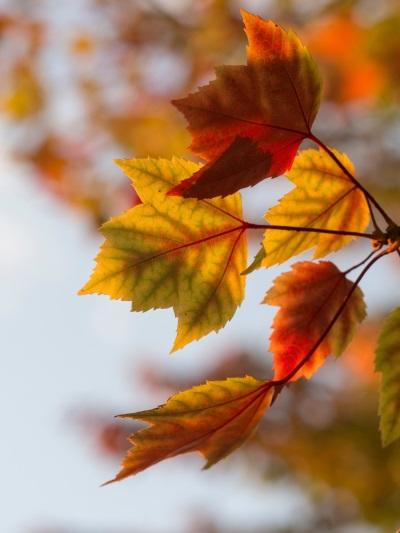 bunte Ahornblätter am Baum