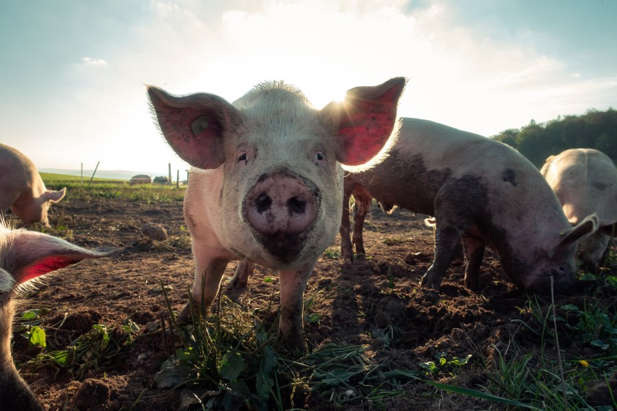 Hausschweine auf freier Wiese