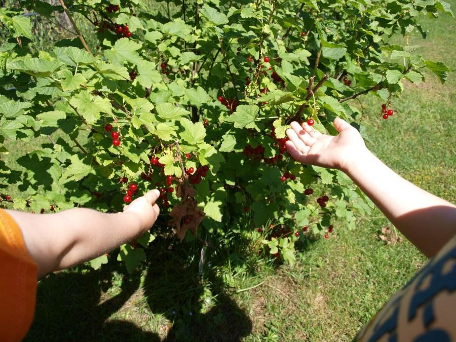 Kinderhände Beeren pflückend