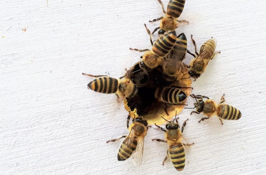 mehrere Bienen am Eingang zu Bienenstock