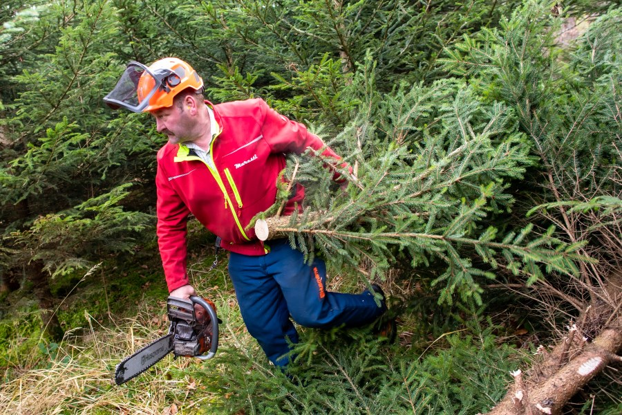 Forstarbeiter zieht gefällte Fichte hinter sich her