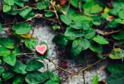 rotes Herz in grünem Efeu