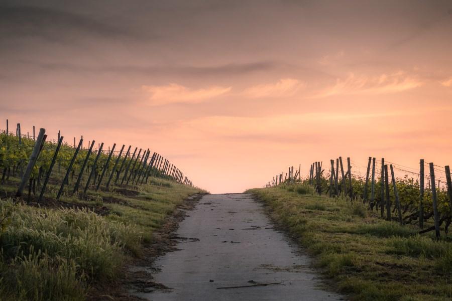 Weg zwischen Weinbergen über Hügel