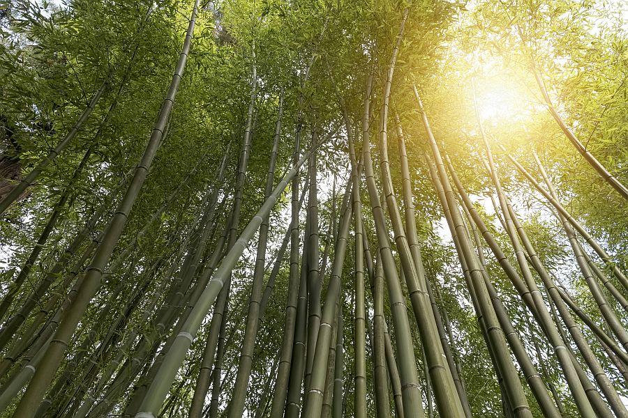 viele hohe Bambuspflanzen von unten