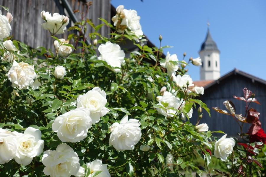 Rosen vor St. Michael