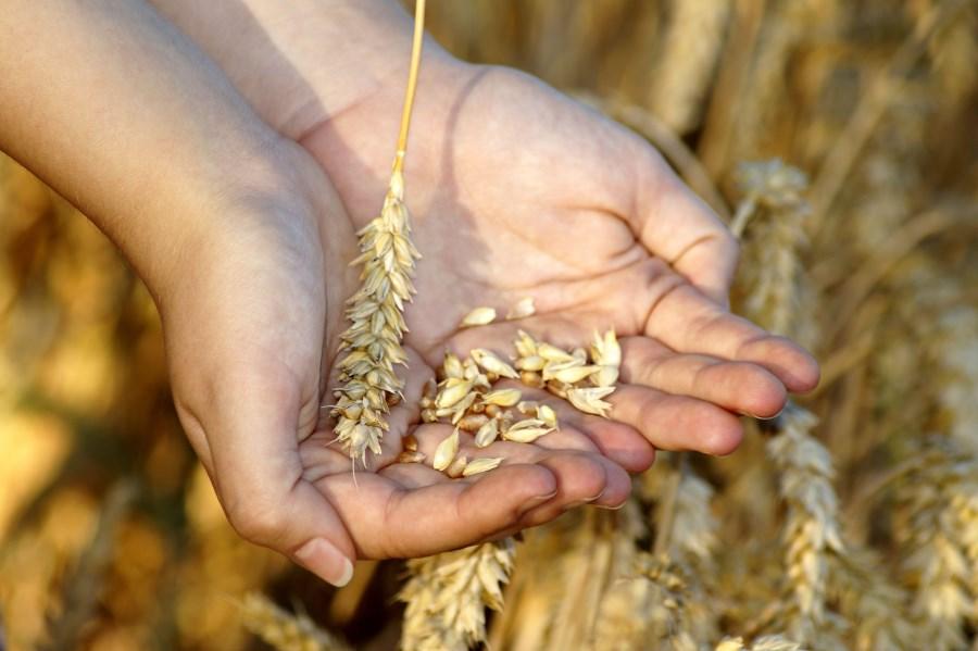 Weizen Hand