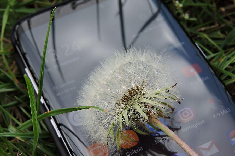 Pusteblume auf Smartphone