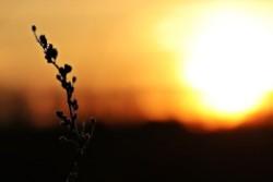 Strohhalm vor untergehender Sonne