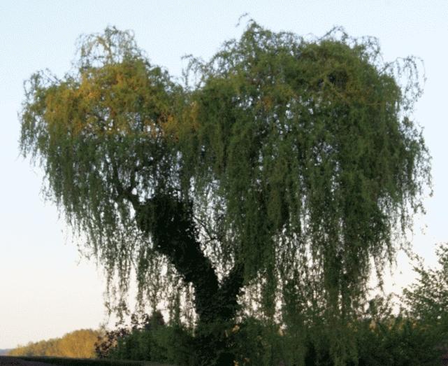 Baum in Herzform Weide