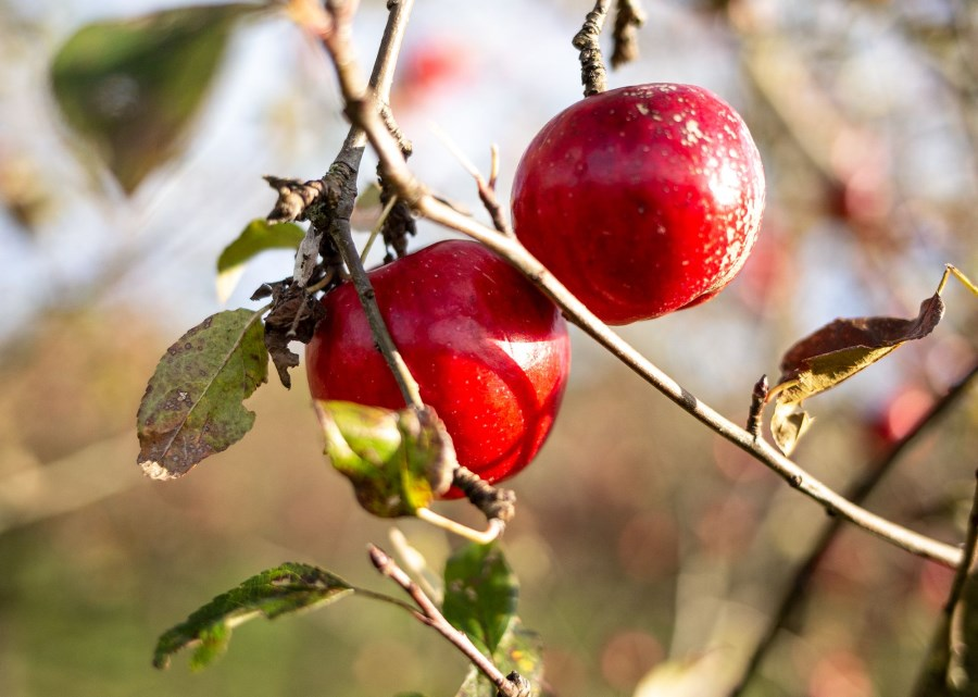 Rote Äpfel im Baum